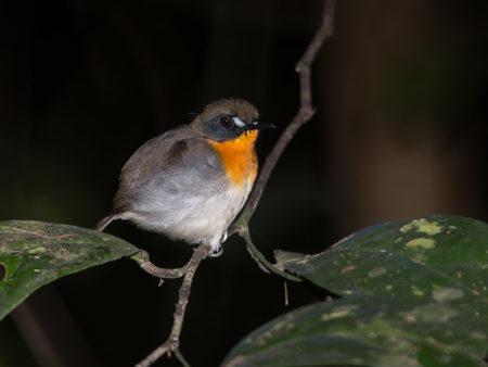 Western Forest Robin (Stiphrornis erythrothorax erythrothorax)