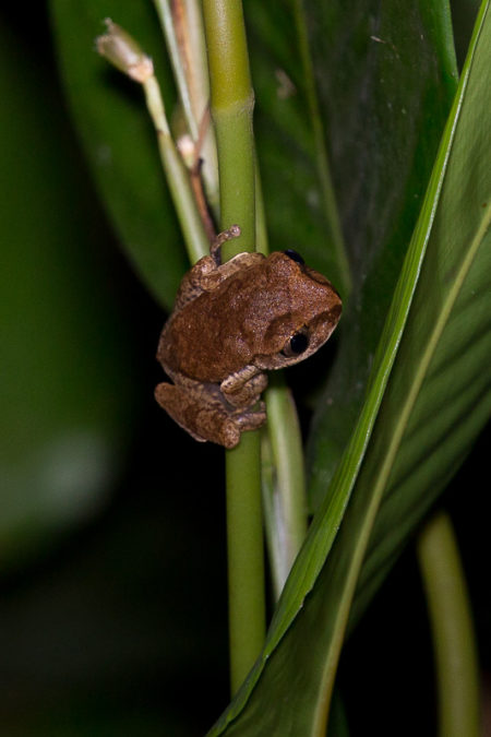 Tree Frog at Tiwai