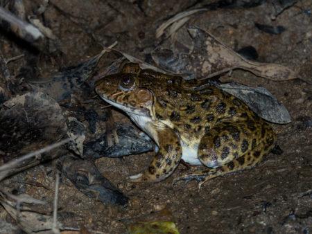 Crowned Bullfrog (Hoplobatrachus occipitalis)