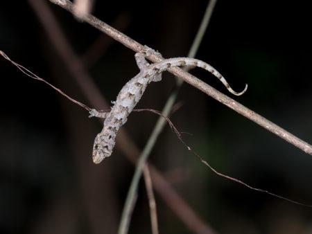 Gecko at Tiwai