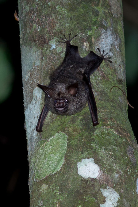 Cyclops Roundleaf Bat (Hipposideros cyclops)