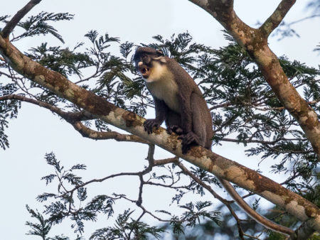 Lesser Spot-nosed Monkey (Cercopithecus petaurista)