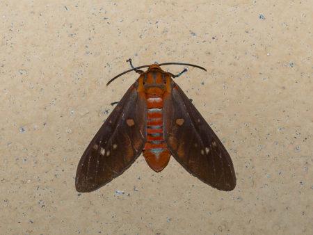Moth at Tiwai