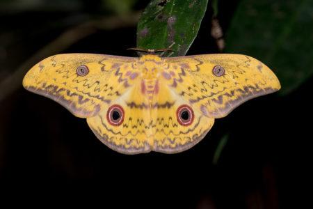 Silk Moth at Tiwai