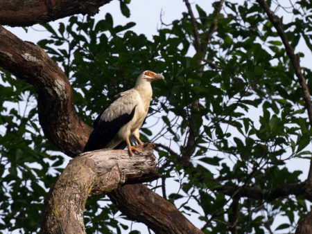 Palm Nut Vulture (Gypohierax angolensis)