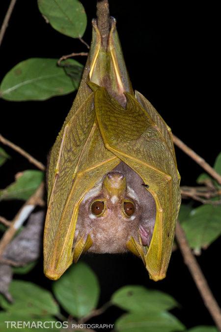 Pohle's Fruit Bat (Scotonycteris ophiodon)