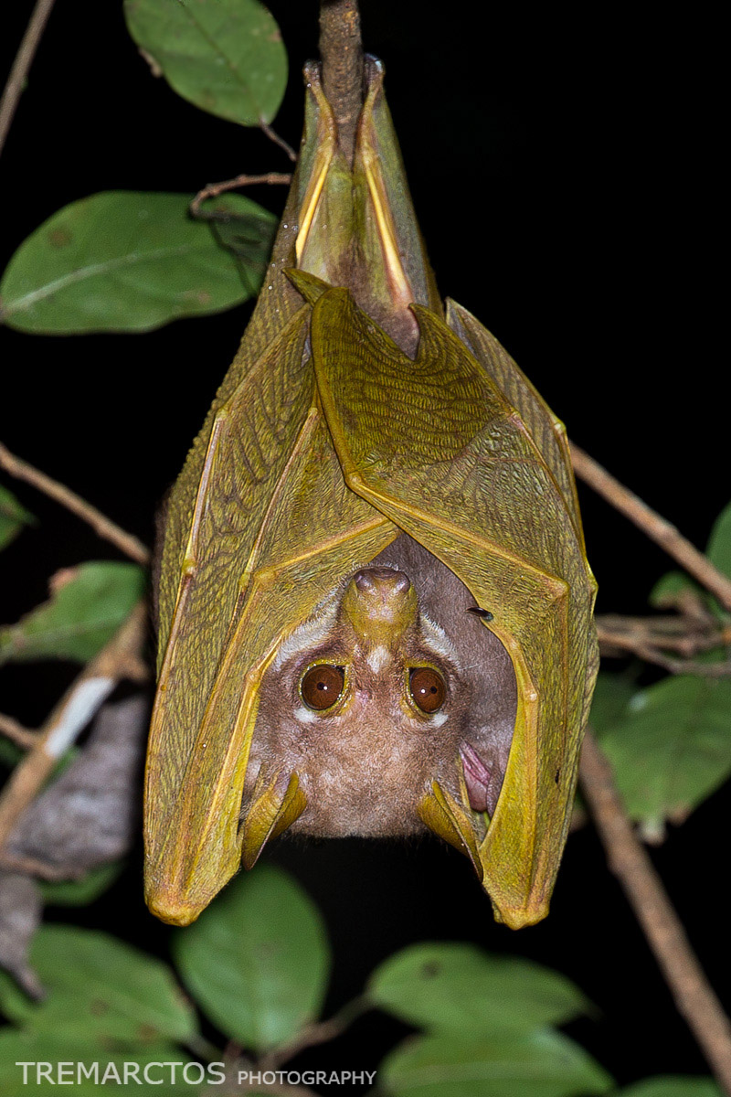 Pohle's Fruit Bat