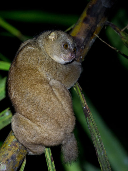 West African Potto (Perodicticus potto potto)