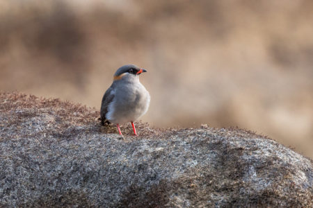 Rock Pratincole (Glareola nuchalis)