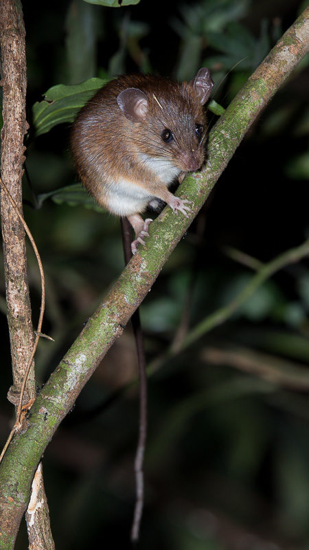 Mouse at Gola NP