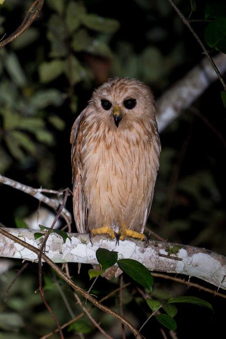 Rufous Fishing Owl, Front (Scotopelia ussheri)