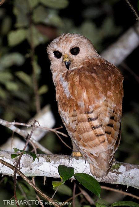 Rufous Fishing Owl (Scotopelia ussheri)
