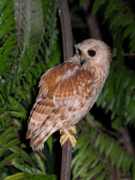 Rufous Fishing Owl, Side (Scotopelia ussheri)