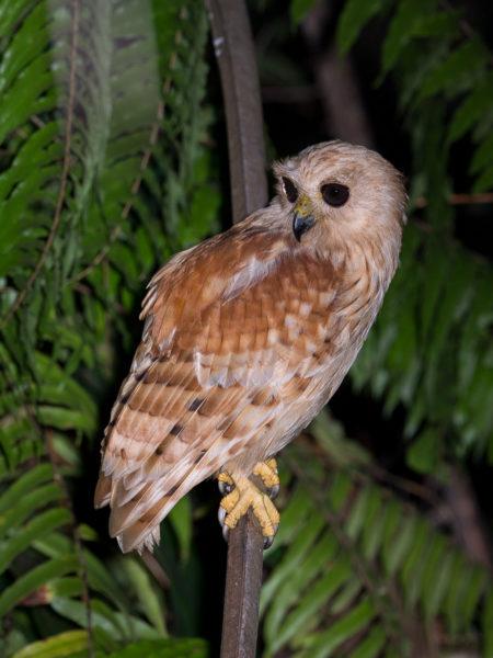 Rufous Fishing Owl, Side (Scotopelia ussheri)