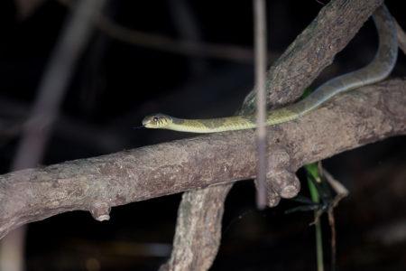 Blanding's Tree Snake (Toxicodryas blandingii)