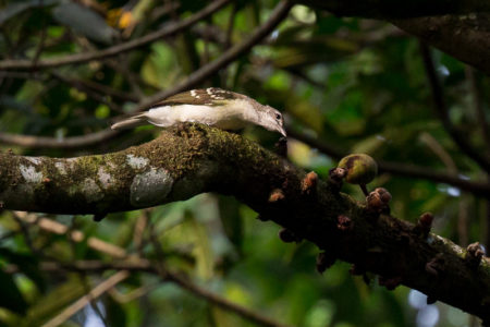Spotted Greenbul (Ixonotus guttatus)