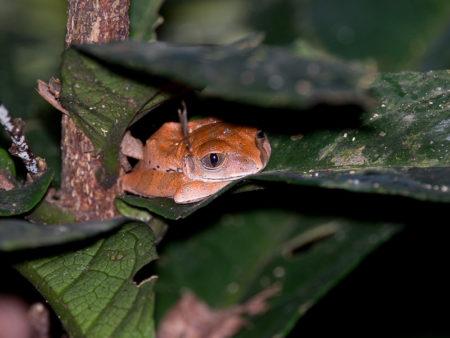 Tree Frog at Gola
