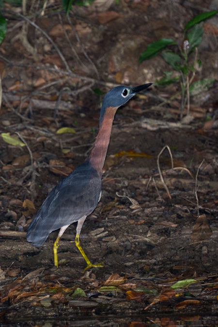 White-backed Night Heron (Gorsachius leuconotus)