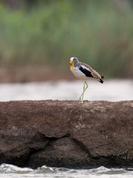 White-crowned Lapwing (Vanellus albiceps)