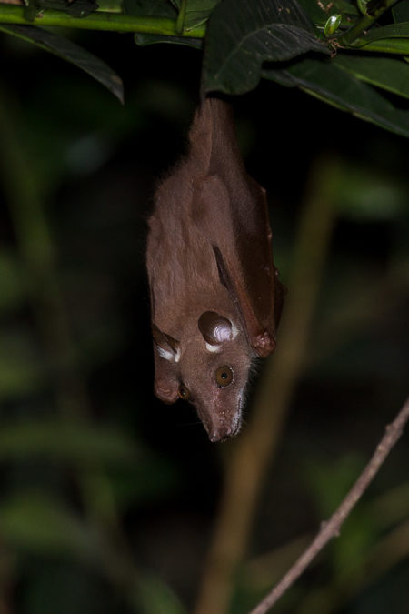 Fruit Bat in Gola