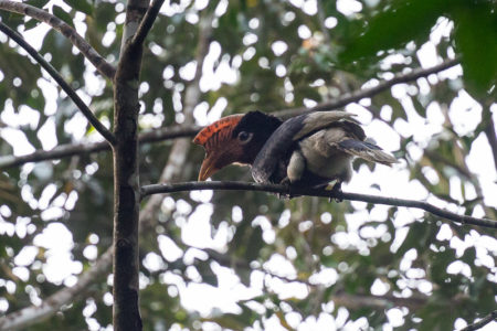 Brown-cheeked Hornbill (Bycanistes cylindricus)