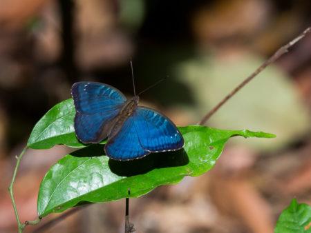 Butterfly in Gola