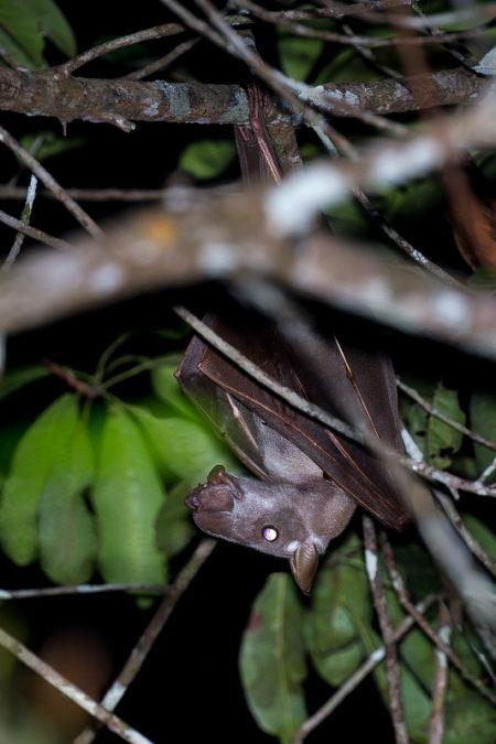 Hammer Bat Male (Hypsignathus monstrosus)