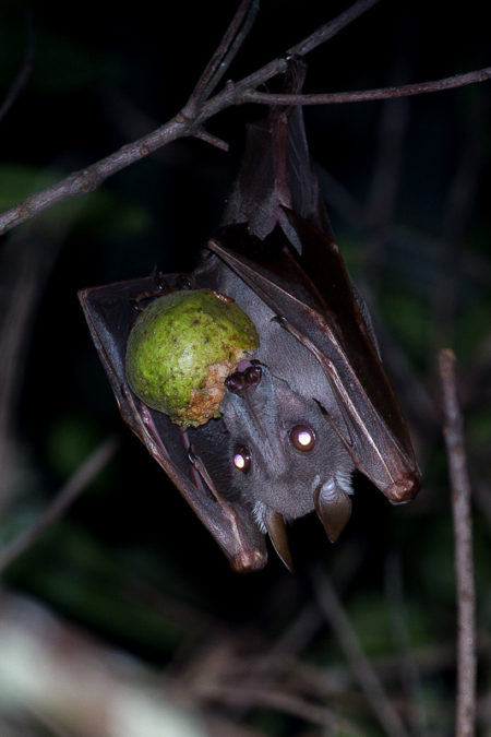 Hammer Bat Female (Hypsignathus monstrosus)