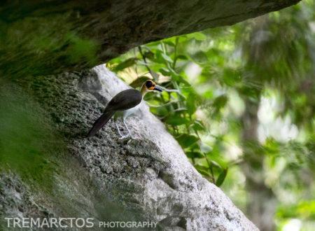 White-necked Picathartes (Picathartes gymnocephalus)