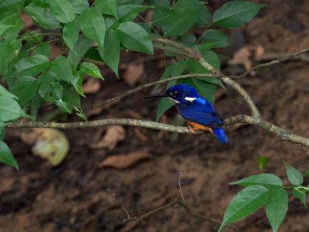 Shining Blue Kingfisher (Alcedo quadribrachys)
