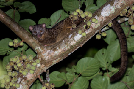 African Palm Civet (Nandinia binotata)