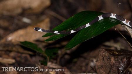 Catesby's Snail-eater (Dipsas catesbyi)