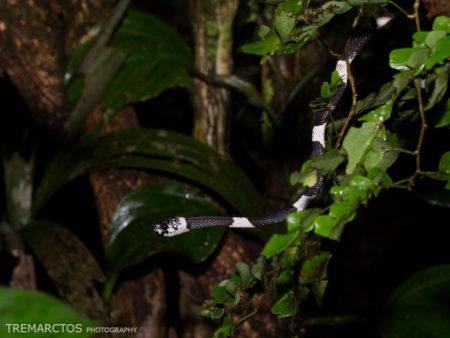 Northern Snail-eater (Dipsas pavonina)