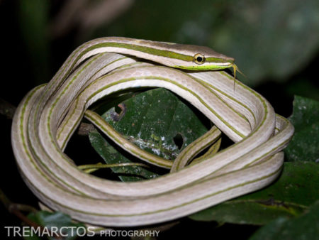 Striped Sharpnose Snake (Philodryas argentea)