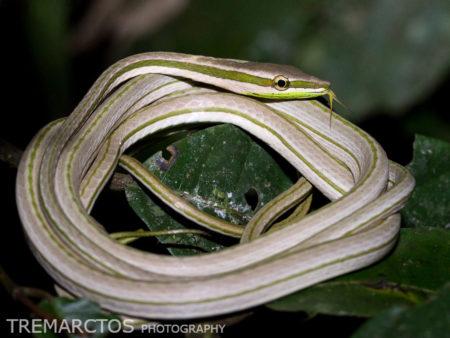 Striped Sharpnose Snake (Philodryas argentea)