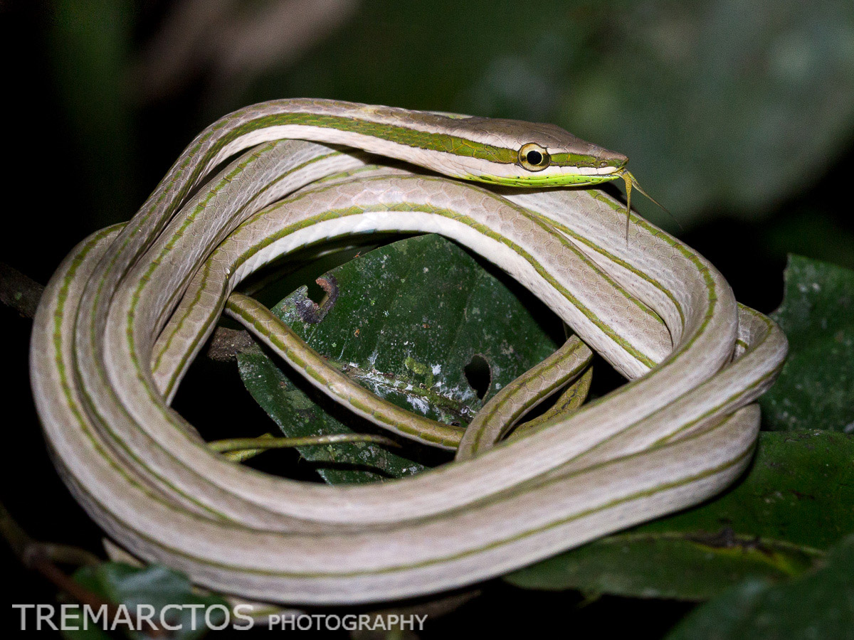 Striped Sharpnose Snake
