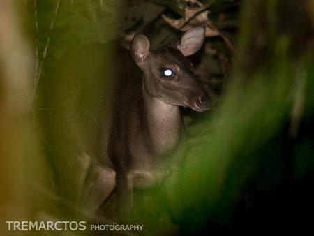 Amazonian Brown Brocket (Mazama nemorivaga)