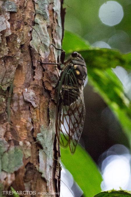 Cicada at Shiripuno Lodge