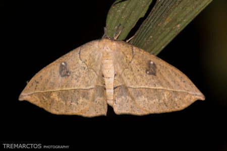 Moth at Shiripuno