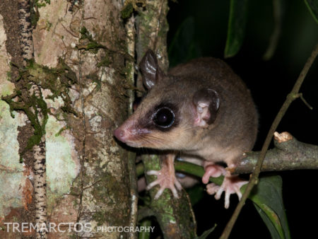 Mouse Opossum at Shiripuno