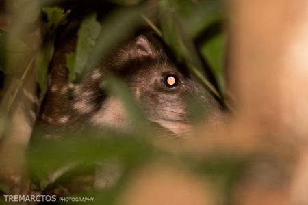 Paca (Paca cuniculus)