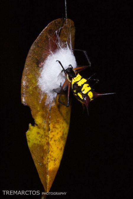 Spider at Shiripuno
