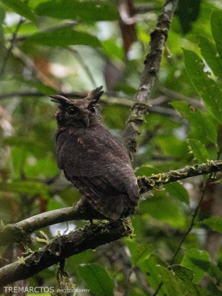 Tawny-bellied Screech Owl (Megascops watsonii)