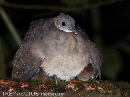 White-throated Tinamou (Tinamus guttatus)