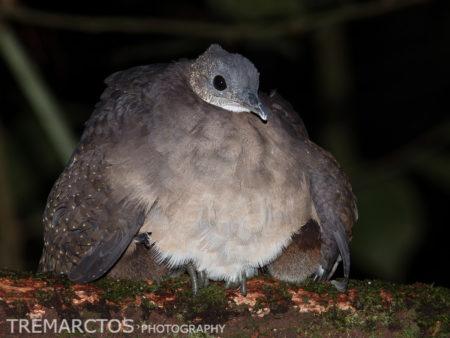 White-throated Tinamou (Tinamus guttatus)
