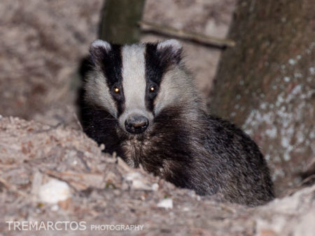 European Badger Cub (Meles meles)