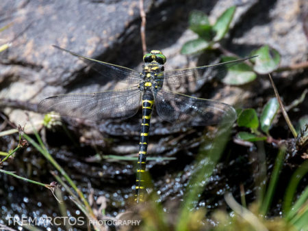 Golden-ringed Dragonfly Ovipositing (Cordulegaster boltonii)