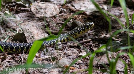 Green Whip Snake (Hierophis viridiflavus)