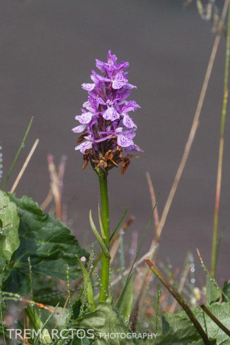 Marsh Orchid (Dactylorhiza sp)