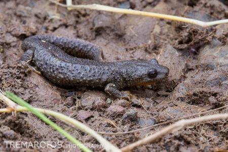 Pyrenean Brook Salamander (Calotriton asper)